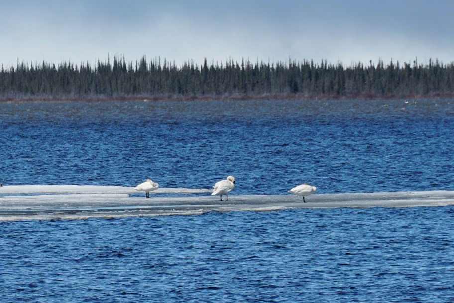 Tundra Swans standing on ice